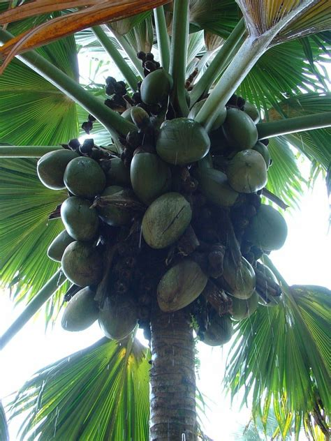 Coconut Tree Dying – Learn About And Treat Different Kinds
