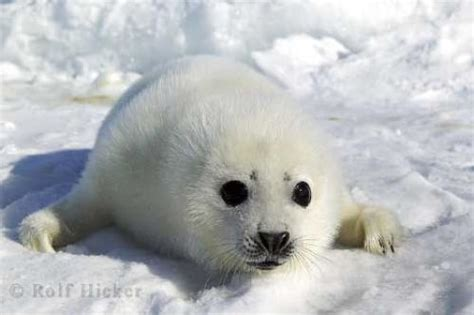 Cute White Seal Animal Baby Ice Floes | Photo, Information