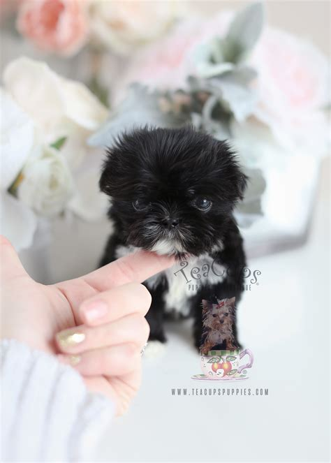 The Cutest Little Shih Tzu Puppies for Sale | Teacups