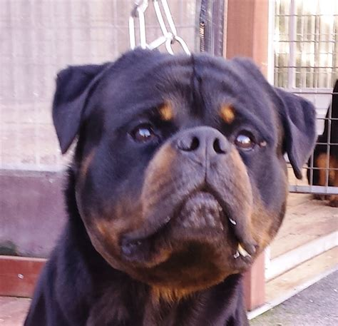 Rottweilers dogs, pups for Sale | Meisterhunde Rottweilers